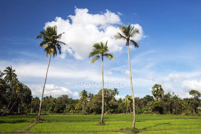 Vista panoramica del campo Paddy, Avukana, Provincia Centrale Nord, Sri Lanka — Foto stock