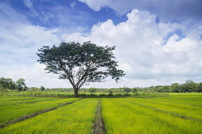 Мальовничим видом на рисові поля, Avukana, Північна Центральна провінція, Шрі-Ланки — стокове фото