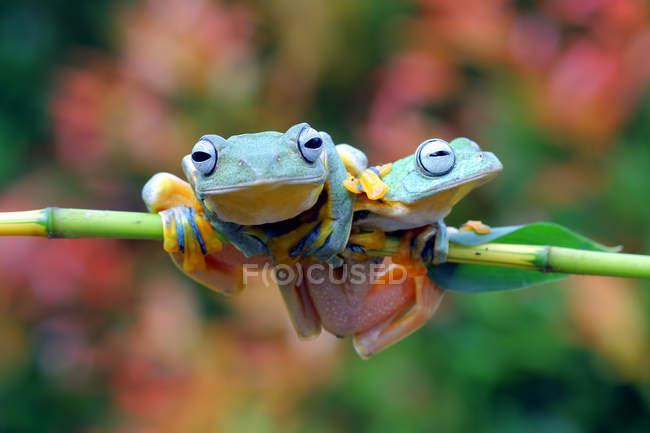 Dos ranas de árbol de Java en una rama, fondo borroso - foto de stock