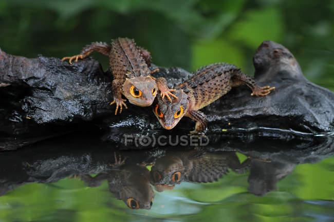 Два крокодила скінки на скелі на річці, крупним планом погляд, селективний фокус — стокове фото