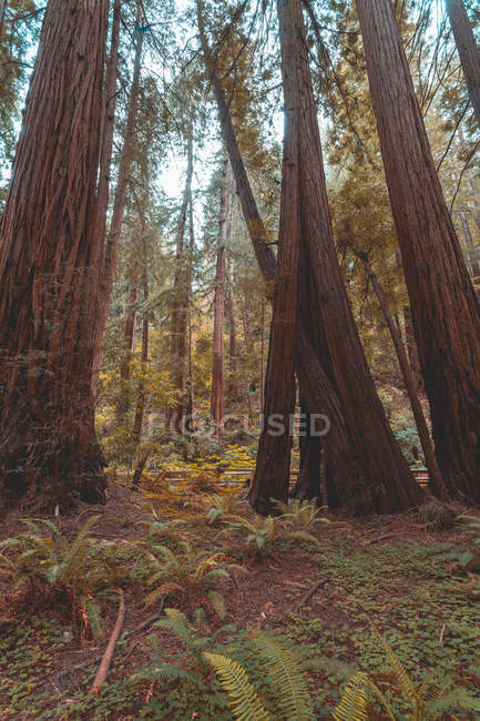 Scenic view of californian redwoods landscape, сша — стоковое фото