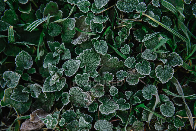 Overhead view of frosty plants — Stock Photo