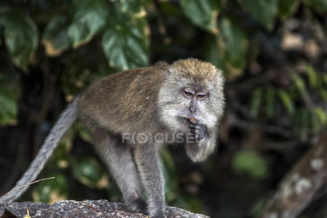 Singe macaque dans la forêt, Teluk Nipah, île de Pangkor, Malaisie — Photo de stock