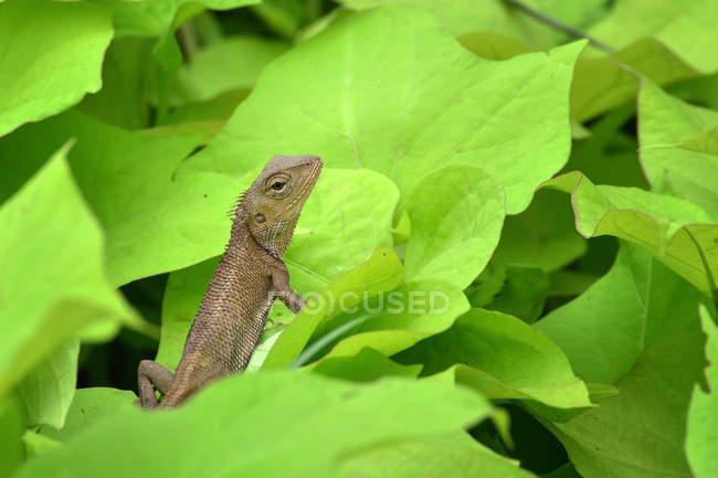 Lizard on a leaf, closeup view, selective focus — Stock Photo