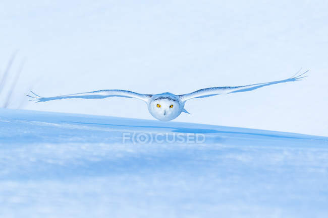 Scenic view of majestic snowy owl in flight — Stock Photo