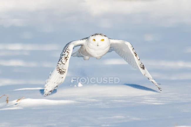 Живописный вид на величественную снежную сову в полете — стоковое фото