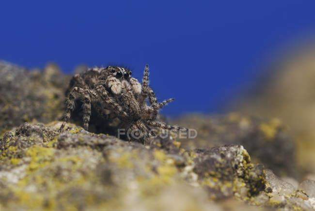 Vista de primer plano de la araña saltando comiendo una araña más pequeña, enfoque selectivo - foto de stock