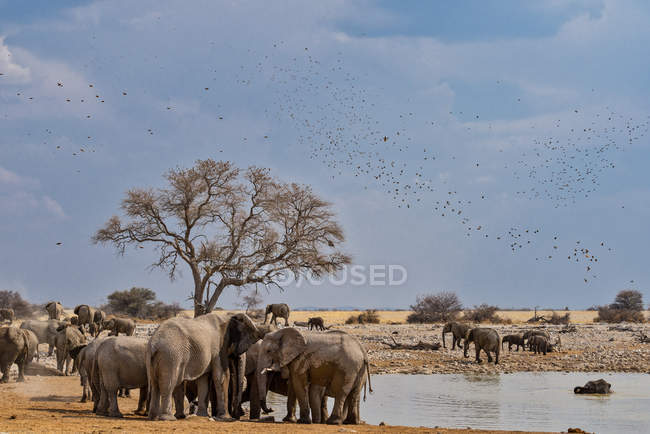 Vue panoramique d'oiseaux majestueux survolant un troupeau d'éléphants, parc national d'Etosha, Namibie — Photo de stock