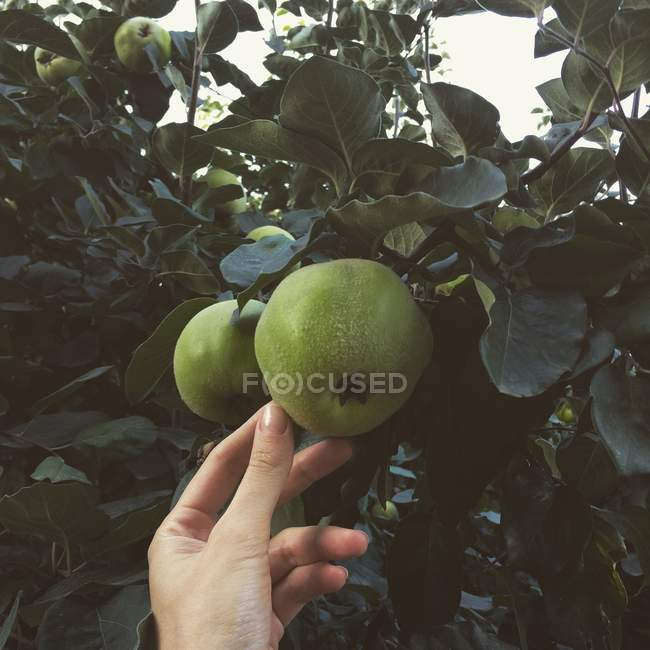 Woman hand reaching for an apple growing on a tree — Stock Photo