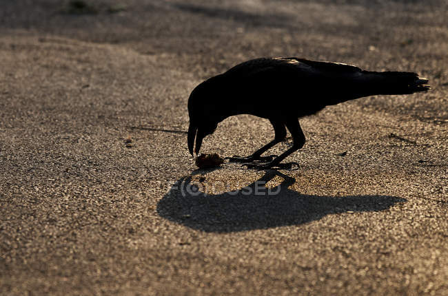 Silhouette of a crow in the street, wild life — Stock Photo