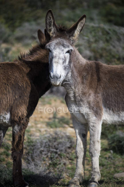 Two donkeys standing in a field, Strait Natural Park, Tarifa, Cadiz, Andalucia, Spain — Stock Photo