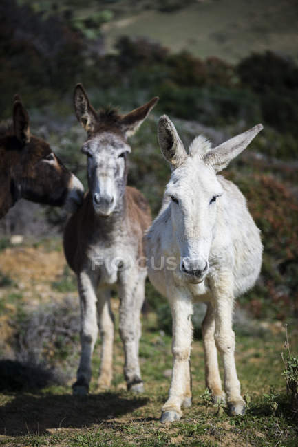 Three donkeys standing In a field, Strait Natural Park, Tarifa, Cadiz, Andalucia, Spain — Stock Photo
