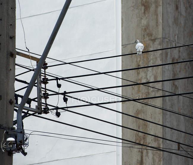 Голубь сидит на электрических кабелях — стоковое фото