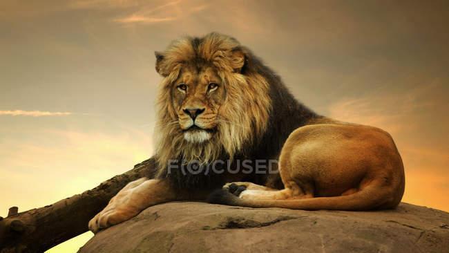 Портрет величественного льва, лежащего на скале — стоковое фото