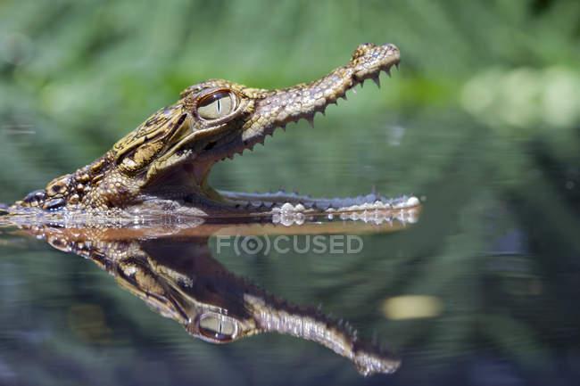 Вид крупным планом на голову крокодила, выглядывающего из реки — стоковое фото