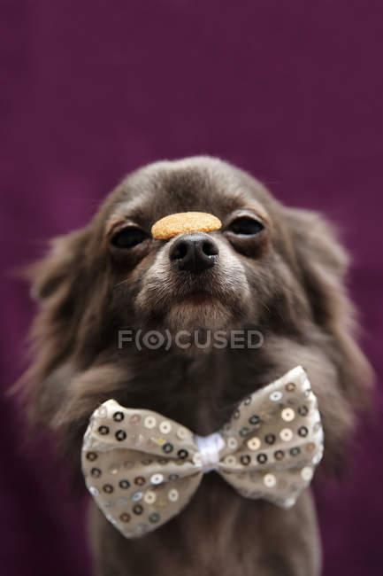 Longcoat Chihuahua dog wearing a bow tie, balancing treat on nose — Stock Photo