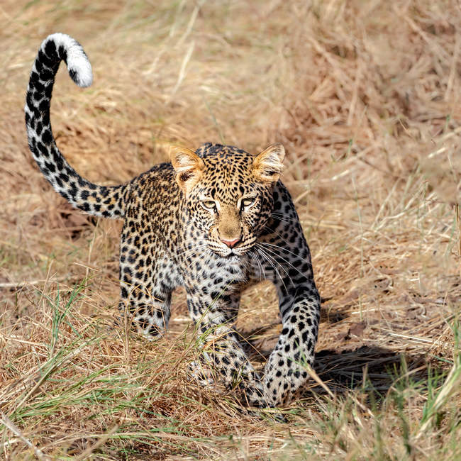 Scenic view of Leopard running with shadow — Fotografia de Stock