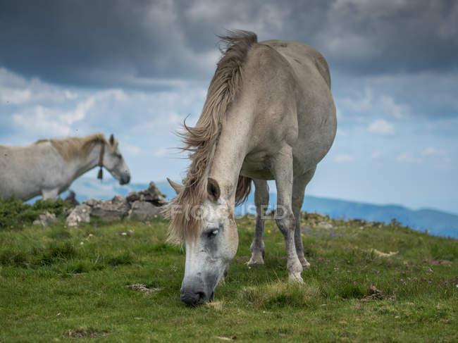 Due cavalli selvatici al pascolo su una montagna, Bulgaria — Foto stock