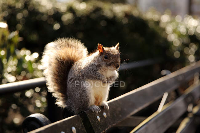 Squirrel sitting on a bench, Union Square Park, Manhattan, New York, America, USA — Photo de stock