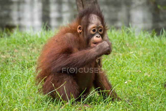 Младенец орангутанг ест траву, Борнео, Индонезия — стоковое фото