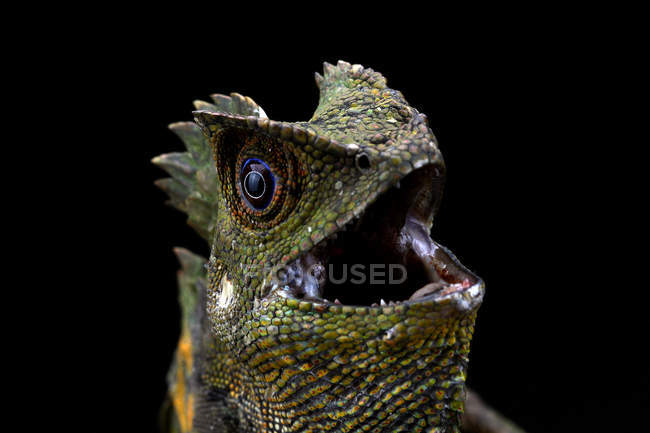 Portrait of an angry Boyds Forest dragon, closeup view, selective focus — Stock Photo