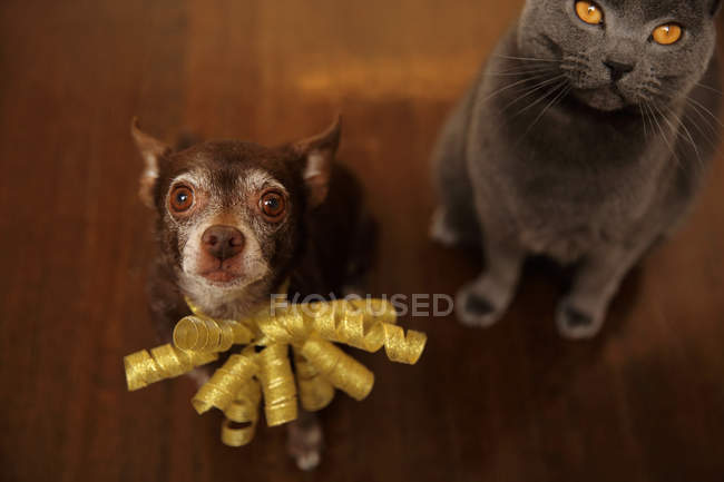 Shortcoat Chihuahua dog and Chartreux cat sitting on the floor — Stock Photo