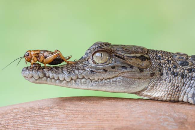 Крикет сидить на крокодила, селективний фокус — стокове фото