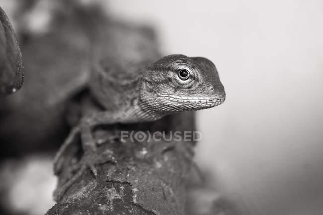 Primer plano de un lagarto en una rama, enfoque selectivo monocromo - foto de stock