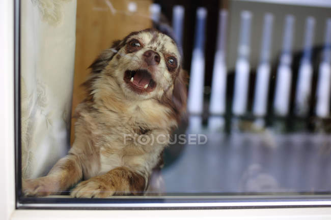 Merle Chihuahua dog barking behind window — Stock Photo