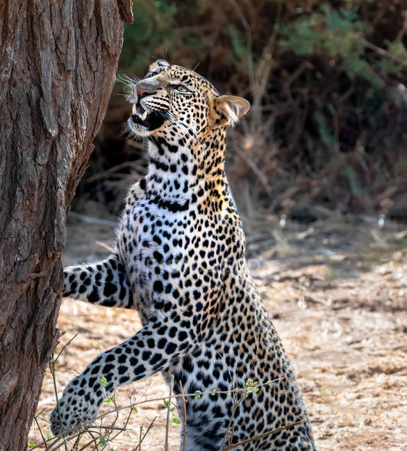Живописный вид на леопарда, нюхающего дерево, Самбуру, Кения — стоковое фото