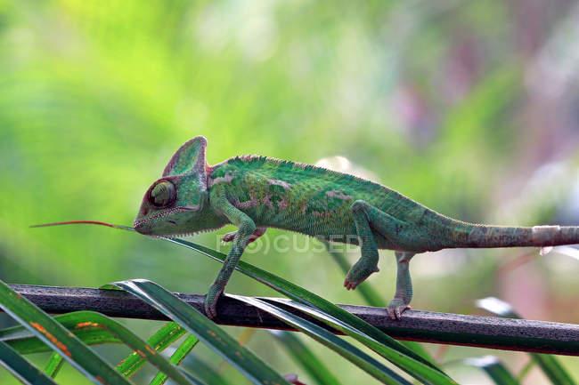 Vista laterale di Chameleon su un ramo, messa a fuoco selettiva — Foto stock