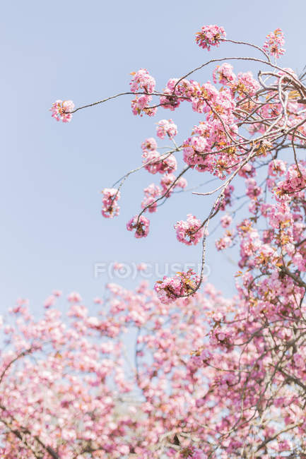 Scenic view of Pink cherry blossom flowers — Stock Photo