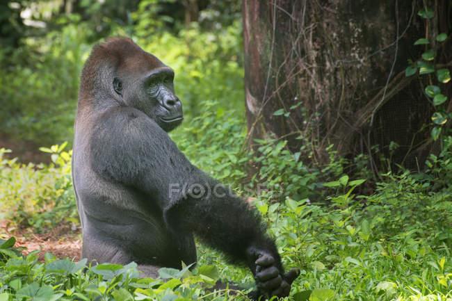 Retrato de una garganta plateada occidental en la selva, Indonesia. - foto de stock