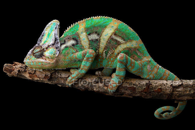 Veiled chameleon on a branch, closeup view, selective focus — Stock Photo