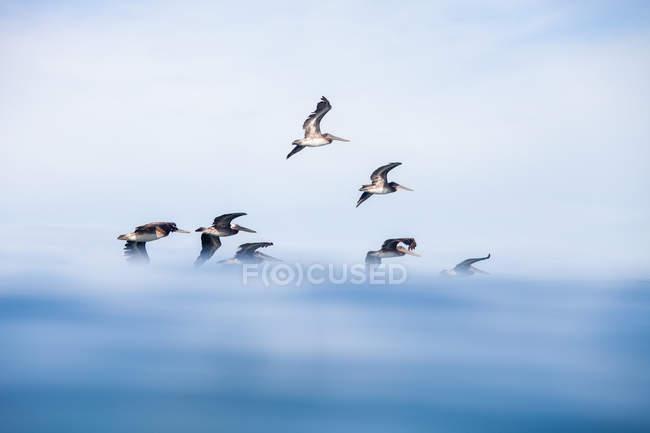 Мальовничий вид на Пелькани, що летять над океаном — стокове фото