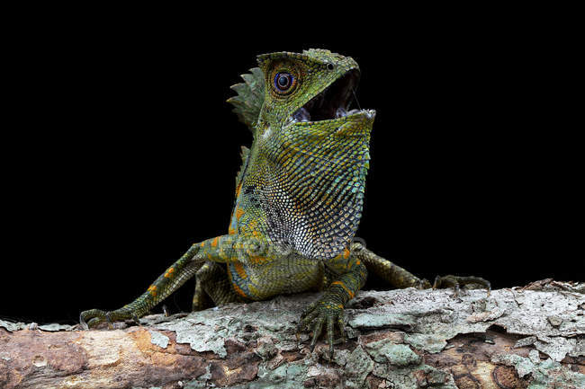 Portrait of an angry Boyd's Forest dragon, closeup view, selective focus — Stock Photo