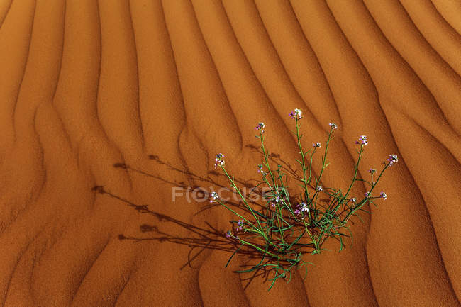 Flowers growing in the desert, Saudi Arabia — Stock Photo