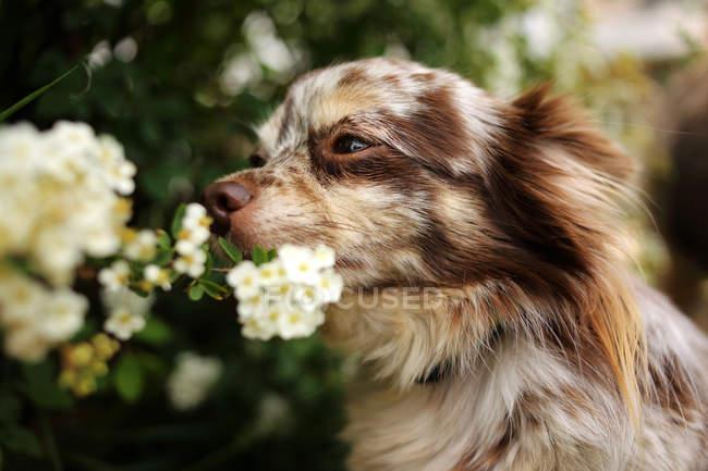 Flores de cheiro do cão da chihuahua de Merle em um jardim — Fotografia de Stock