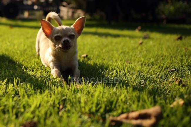 Чихуахуа собака растяжения в саду травы — стоковое фото