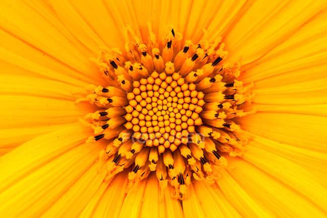 Крупный план желтого свежего подсолнуха — стоковое фото