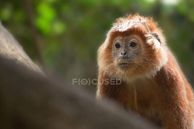 Vista de cierre de Javan Lutung en la selva, Indonesia. - foto de stock