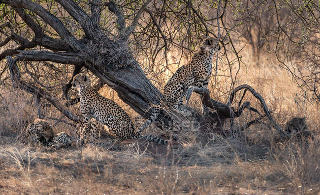 Живописный вид на четырех детенышей гепарда под деревом, Кения — стоковое фото