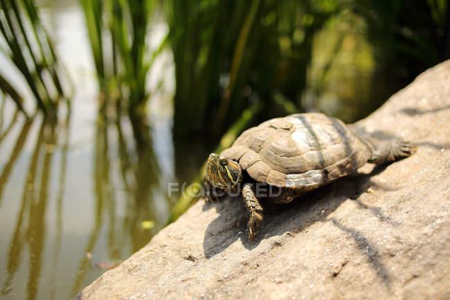 Tartaruga su una parete da uno stagno, fuoco selettivo — Foto stock