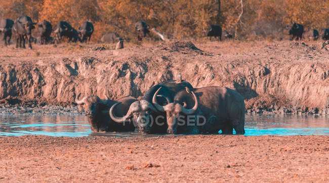 Herd of buffalo at a water hole, Sabi Sand Reserve, Mpumalanga, South Africa — стоковое фото