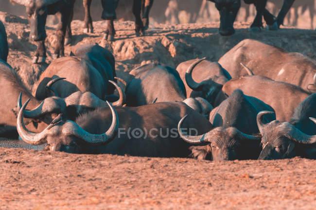 Живописный вид на стадо буйволов у водоносной скважины в заповеднике Саби, Мпумаланга, Южная Африка — стоковое фото