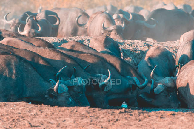 Стадо буйволов у водопоя, Sabi Sand Reserve, Мпумаланга, ЮАР — стоковое фото
