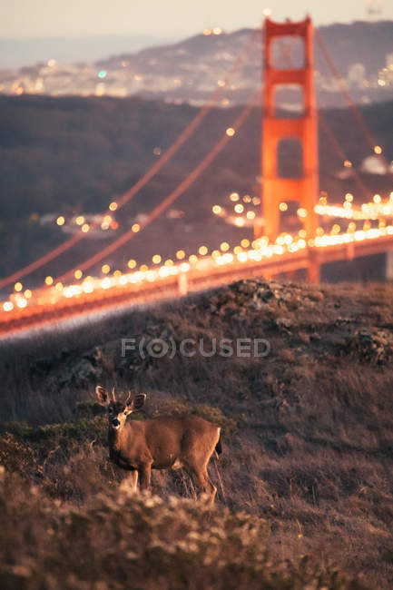 Scenic view of Deer standing in Front of Golden Gate Bridge, San Francisco, California, United States — Stock Photo
