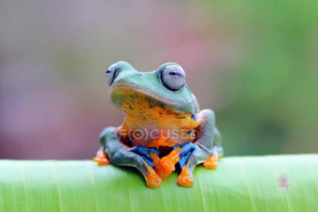 Javan tree frog on a leaf, blurred background — Stock Photo