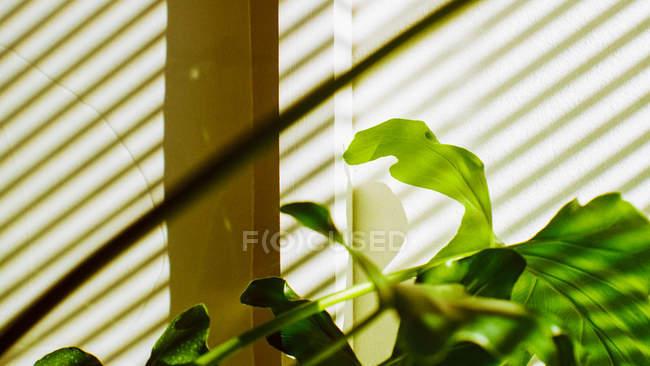 Слепая тень на горшечное растение — стоковое фото