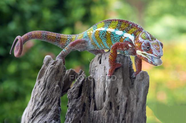 Camaleonte sul tronco in viaggio per sporgere la lingua, messa a fuoco selettiva — Foto stock